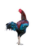 Beautiful male rooster isolated on white. Background with clipping path Stock Image