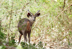 A beautiful male Sambar deer. The sambar is a large deer native to the Indian Subcontinent and Southeast Asia Royalty Free Stock Images