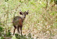 A beautiful male Sambar deer with Mayna sitting on top Stock Image