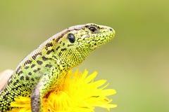 Beautiful male sand lizard closeup Stock Images