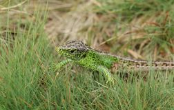 A beautiful male Sand Lizard Lacerta Agilis hunting in the undergrowth for food. A stunning male Sand Lizard Lacerta Agilis hunting in the undergrowth for food Royalty Free Stock Photo
