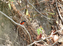 Beautiful male Scarlet Minivet Royalty Free Stock Photography