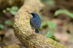 Male Siberian Blue Robin Luscinia cyane. Beautiful male Siberian Blue Robin Luscinia cyane in Thailand Royalty Free Stock Images