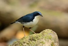 Male Siberian Blue Robin Luscinia cyane. Beautiful male Siberian Blue Robin Luscinia cyane in Thailand Stock Image