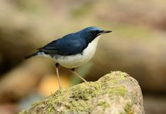 Male Siberian Blue Robin Luscinia cyane. Beautiful male Siberian Blue Robin Luscinia cyane in Thailand Stock Photo