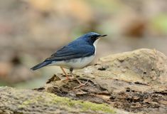 Male Siberian Blue Robin Luscinia cyane. Beautiful male Siberian Blue Robin Luscinia cyane in Thailand Royalty Free Stock Photography