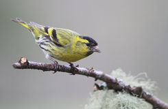 A beautiful male Siskin Carduelis spinus perched on a branch. A  stunning male Siskin Carduelis spinus perched on a branch Royalty Free Stock Photography