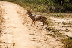 Beautiful male spotted deer standing on the road Royalty Free Stock Photo