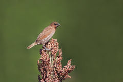 Beautiful male spotted munia bird on crop Stock Photo