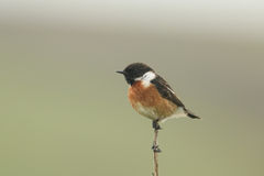 A beautiful male Stonechat bird Saxicola torquata perched on the tip of a plant stem. Royalty Free Stock Images
