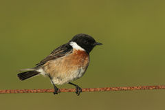 A beautiful male Stonechat Saxicola torquata perched on a wire. Stock Images