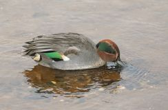 A beautiful male Teal Duck Anas crecca swimming and feeding in a coastal estuary in Scotland. stock photography
