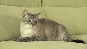 Beautiful male Thai cat on couch. Beautiful male Thai cat on the couch Royalty Free Stock Photo