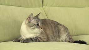 Beautiful male Thai cat on couch. Beautiful male Thai cat on the couch Stock Image