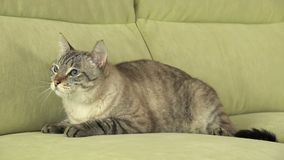 Beautiful male Thai cat on couch. Beautiful male Thai cat on the couch Royalty Free Stock Images