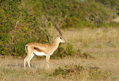 A beautiful male Thomson's Gazelle Royalty Free Stock Image