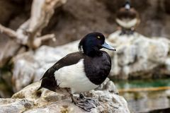 Male Tufted duck close up portrait resting on rock. Beautiful male Tufted duck with yellow eyes close up portrait resting on a rock in a cloudy spring day Stock Images