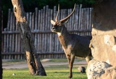Male waterbuck Kobus ellipsiprymnus. Beautiful male waterbuck Kobus ellipsiprymnus standing on ground Royalty Free Stock Photography