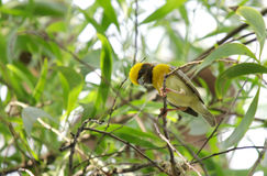 A beautiful male weaver bird on a tree branch Stock Images
