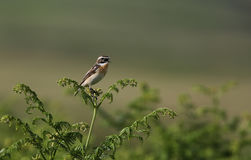 A beautiful male Whinchat, Saxicola rubetra, perched on bracken singing and displaying. Royalty Free Stock Photos