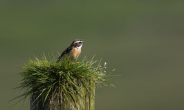 A beautiful male Whinchat, Saxicola rubetra, perched on a post covered in grass. Royalty Free Stock Photo
