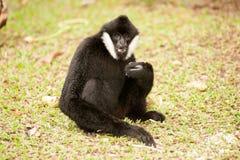 Beautiful male White-cheeked gibbon Nomascus leucogenys. Beautiful male White-cheeked gibbon Nomascus leucogenys sitting on ground Royalty Free Stock Photo