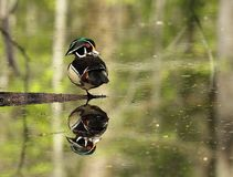 Beautiful Male Wood Duck. Resting on one leg with reflection in water Stock Photo