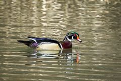 Beautiful male wood duck with water on bill.. A male wood duck Aix Sponsa swims in Fernan Lake in north Idaho Stock Photo