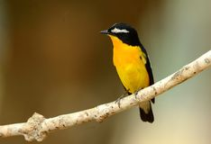 Male Yellow-rumped Flycatcher. Beautiful male Yellow-rumped Flycatcher Ficedula zanthopygia standing on branch Stock Photo