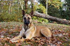 A beautiful malinois outdoor. royalty free stock photo