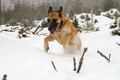A beautiful malinois in winter. A Belgian shepherd jumping in the snow in portrait Stock Image