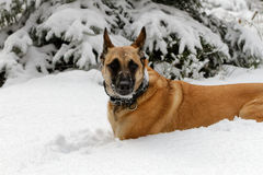A beautiful malinois in winter. A Belgian shepherd in the snow in portrait Royalty Free Stock Photo