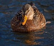 Beautiful mallard. Mallard, or Wild duck (Anas platyrhynchos), female Royalty Free Stock Image