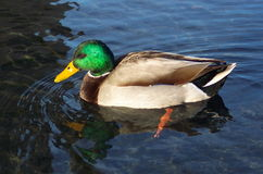 Beautiful Mallard Drake. Photo of a colorful Mallard Drake duck at a pond Stock Photo