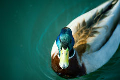 Beautiful Mallard Drake with its distinctive markings swimming o. The Beautiful Mallard Drake with its distinctive markings swimming on calm blue waters Royalty Free Stock Photography