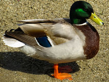 Beautiful Mallard duck. Close up Stock Images