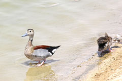 Beautiful Mallard duck at the lake Royalty Free Stock Images