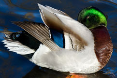 Beautiful Mallard Duck Preening and Showing Off Its Colors Royalty Free Stock Photos