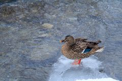 Mallard duck standing on ice patch Stock Images