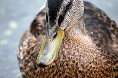 Beautiful mallard duck in summer pond Royalty Free Stock Image