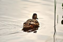 Beautiful mallard duck swimming. On calm summer pond Royalty Free Stock Photos