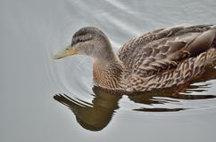 Beautiful mallard duck swimming on calm summer pond. Beautiful mallard duck swimming on calm blue summer pond Stock Images