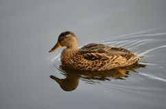 Beautiful mallard duck. Swimming on calm summer pond Stock Image