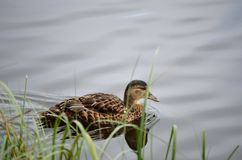 Beautiful mallard duck swimming. On calm summer pond Stock Photos