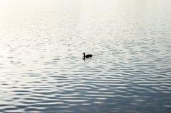 Beautiful mallard duck swims in the water. Beautiful mallard duck swims in the water Stock Images