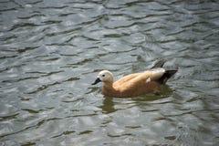 Beautiful mallard duck in the water. Stock Photos