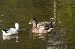 Beautiful mallard ducks Royalty Free Stock Image