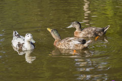 Beautiful mallard ducks Royalty Free Stock Images