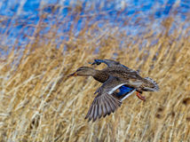 Beautiful mallard female duck in flight with wings wide open. In Bosque del Apache, New Mexico Royalty Free Stock Photography
