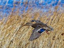 Beautiful mallard female duck in flight with wings wide open Royalty Free Stock Photography